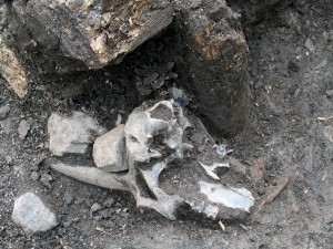 Rajamerkin yhteyteen kätketty vuohenkallo 1300-luvun Turussa. Kuvaaja Sonja Hukantaival, 2006.